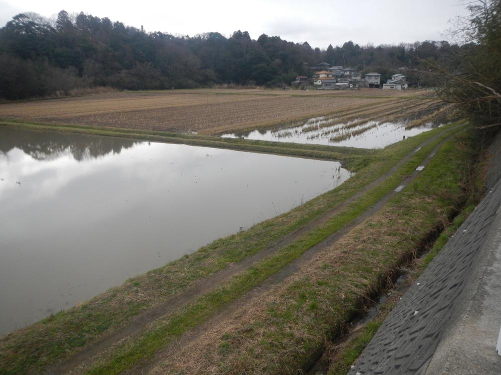冬みず田んぼ。手前は代かきして、奥は、一部だけ代かきして湛水している。